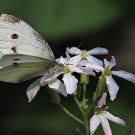 Witte vlinder van Paul Franke