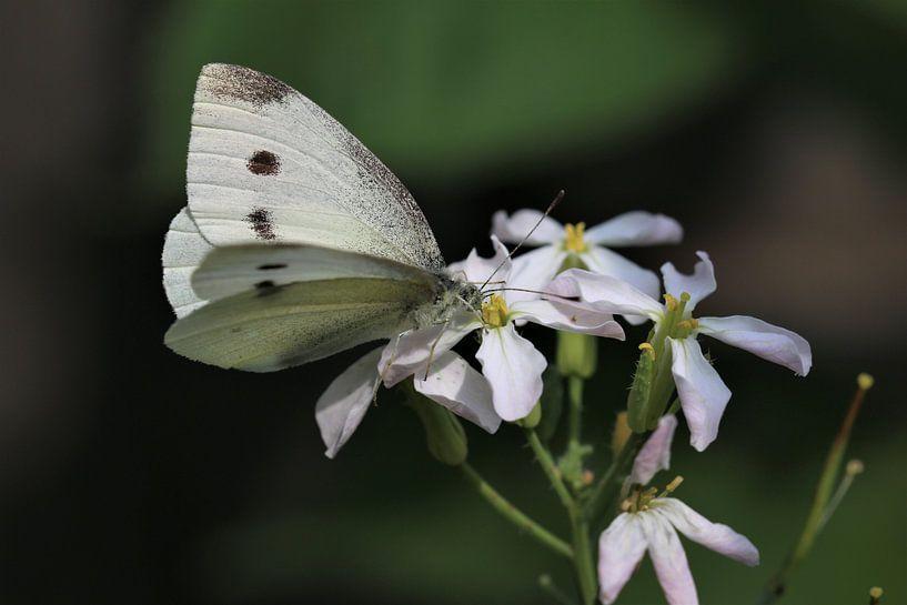 Papillon blanc sur Paul Franke