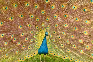Een blauw met groene pauw die zijn veren spreid van Jennifer Hendriks