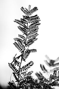 Konturen eines Robinienzweigs von Tot Kijk Fotografie: natuur aan de muur
