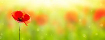 enkele klaproos bloesem in de zon van Dörte Stiller