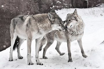 Ein glückliches verheiratetes Wolfspaar, ein Wolfsweibchen und ein Wolfsmännchen stehen zusammen. von Michael Semenov