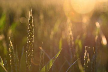 Weizen im Sonnenuntergang von Ulrike Leone