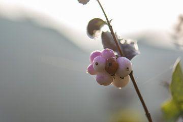 framboise rose sur Tania Perneel
