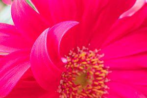 Fleurs printanières colorées rose pourpre extrême