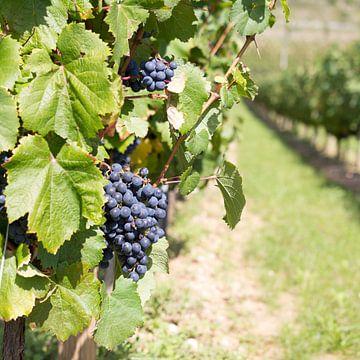 Druiven aan wijnstok Frankrijk van Tess Smethurst-Oostvogel