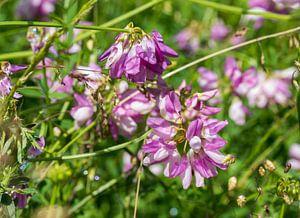 coronila varia in botanical garden