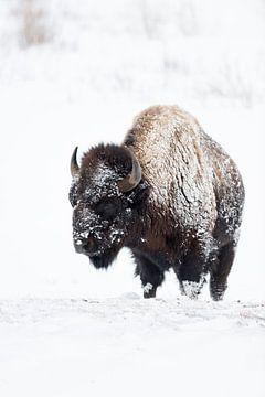 Amerikaanse Bizon ( Bison bizon ) in de harde winter, bont ingelegd door sneeuw en ijs, wild, Yellow van wunderbare Erde