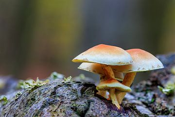 Groepje Zwavelkoppen op boomstam van Photo Henk van Dijk