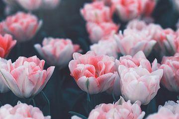 rosafarbene Tulpen von Kristof Ven