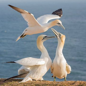 Vogels | 3 Jan-van-genten bij elkaar in beeld tijdens een zonsopkomst op Helgoland van Servan Ott