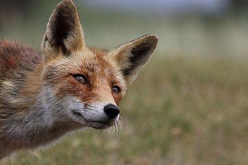 Nieuwsgierige vos von G. Tiemens
