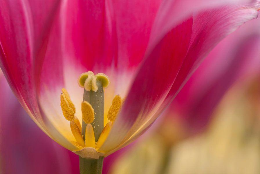 De binnenkant van een Hollandse tulp van Birgitte Bergman