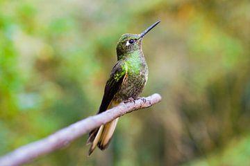 Kolibri rustend op een tak van Lucas De Jong