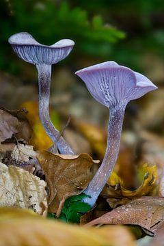 Twee paarse paddenstoelen