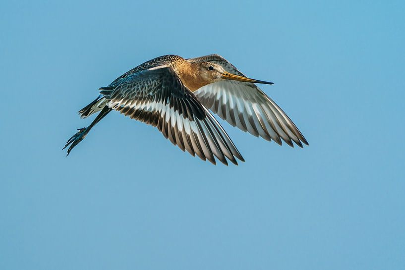 Grutto - Nationale vogel van Nederland (NL) van Paul van der Zwan