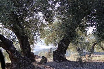 Oude olijfboom met doorkijkje.