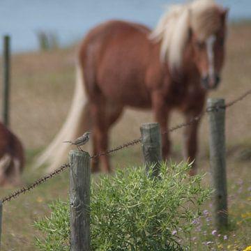 Duinpieper wordt bekeken door een pony van Roel Van Cauwenberghe