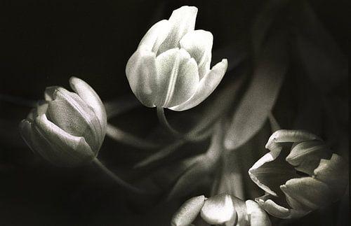tulips 1 van