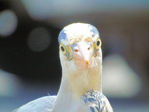 Volendamvogel von JWM Bouma