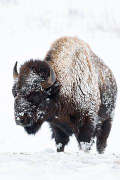 Bison ( Bison bison ) im Winter, Fell von Schnee und Eis verkrustet, wildlife, USA. von wunderbare Erde