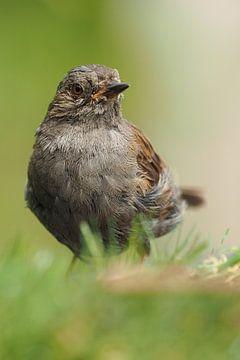 Close-up of a warbler. von Astrid Brouwers