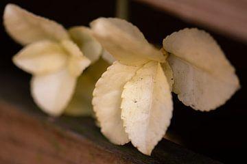 witte blaadjes van