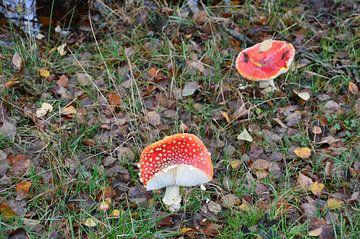 Pilze rot Pietzmoor von Susanne Seidel