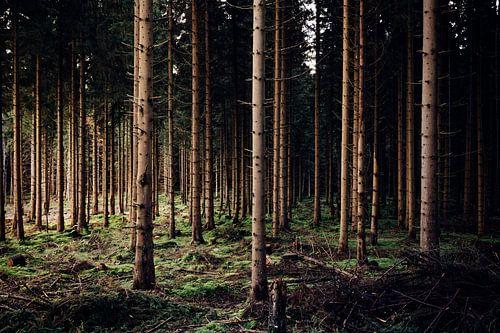 Abendlicht im Wald van