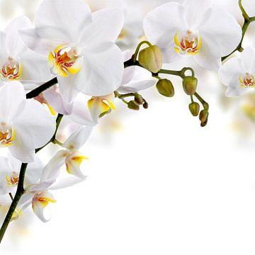Weiße Orchideenblüten von Diana van Tankeren
