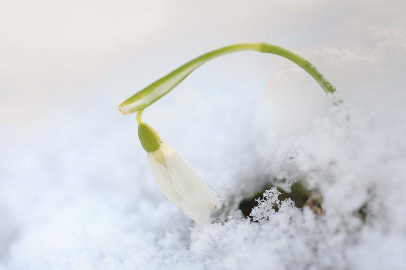 Sneeuwklokje steekt kopje boven de sneeuw uit van Gonnie van de Schans
