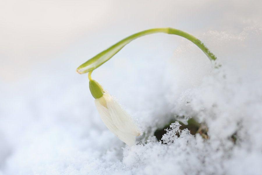 Sneeuwklokje steekt kopje boven de sneeuw uit