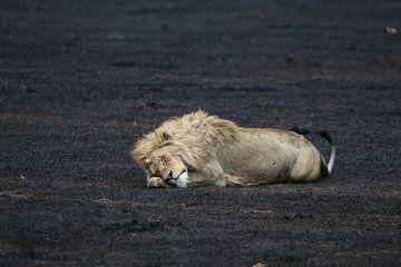 Leeuw in Tanzania von Linda van Herwijnen