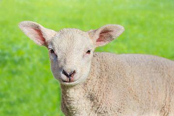 Porträt von einem neugeborenen weißen Lamm in grüne Wiese von Ben Schonewille