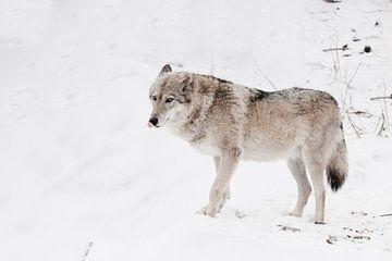 Grijze wolf vrouwtje in de sneeuw, mooi sterk dier in de winter. van Michael Semenov