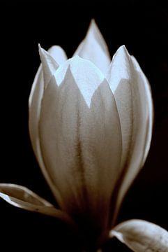 Magnolia sur Paul Arentsen