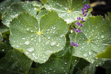 Meinungsstarker Lavendel von Rene van Heerdt