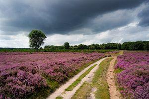 Paarse heide bij Hilversum in bloei