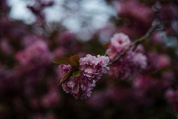 Launische Blüte Baum || Rosa Blumen Foto von Manon Galama