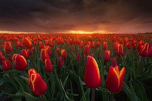 Rode Storm Tulpen
