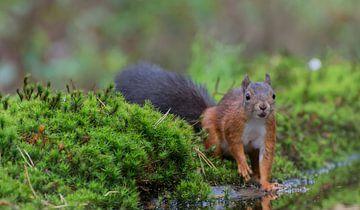 Eekhoorn /Squirrel van Anna Stelloo