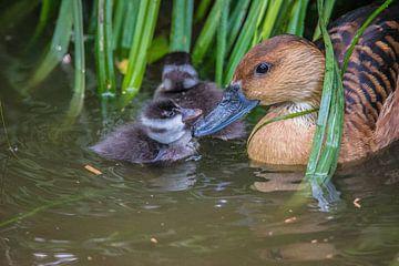 Mutter Ente mit Entenküken von Fred Leeflang