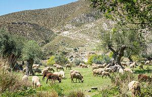 kudde schapen in de natuur van Andalusie