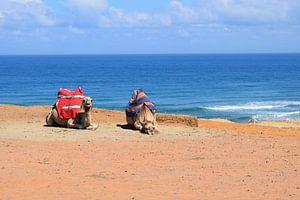 Liegende Kamele in der Wüste von Sama Apkar