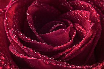 The sparkling rose sur