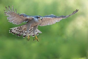 Falke im Flug von Martina van Raad