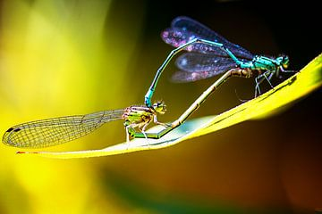 Libelle Duo von natascha verbij