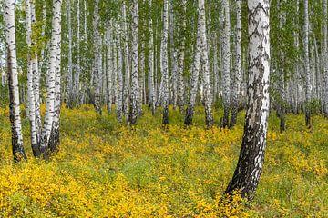 Birkenwald in Sibirien
