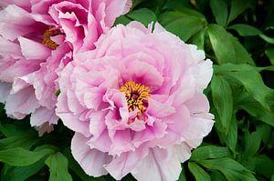Macrofoto van een roze pioenroos