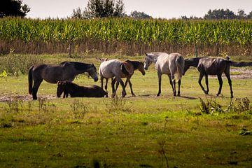 Wildpferde in der Kampina von Lieke van Grinsven van Aarle